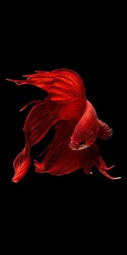Red Fish..